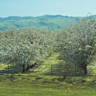 A cherry orchard off the off the 5 freeway in Central California.