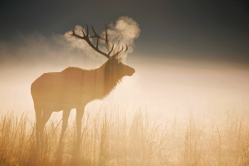 Photograph Bull Elk at Dawn by Scott Hotaling on 500px