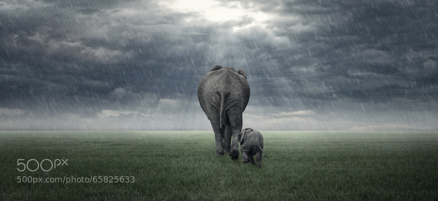Photograph Mamma (Elephants in the Rain) by Glyn Dewis on 500px