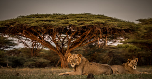 The lions of Shaba