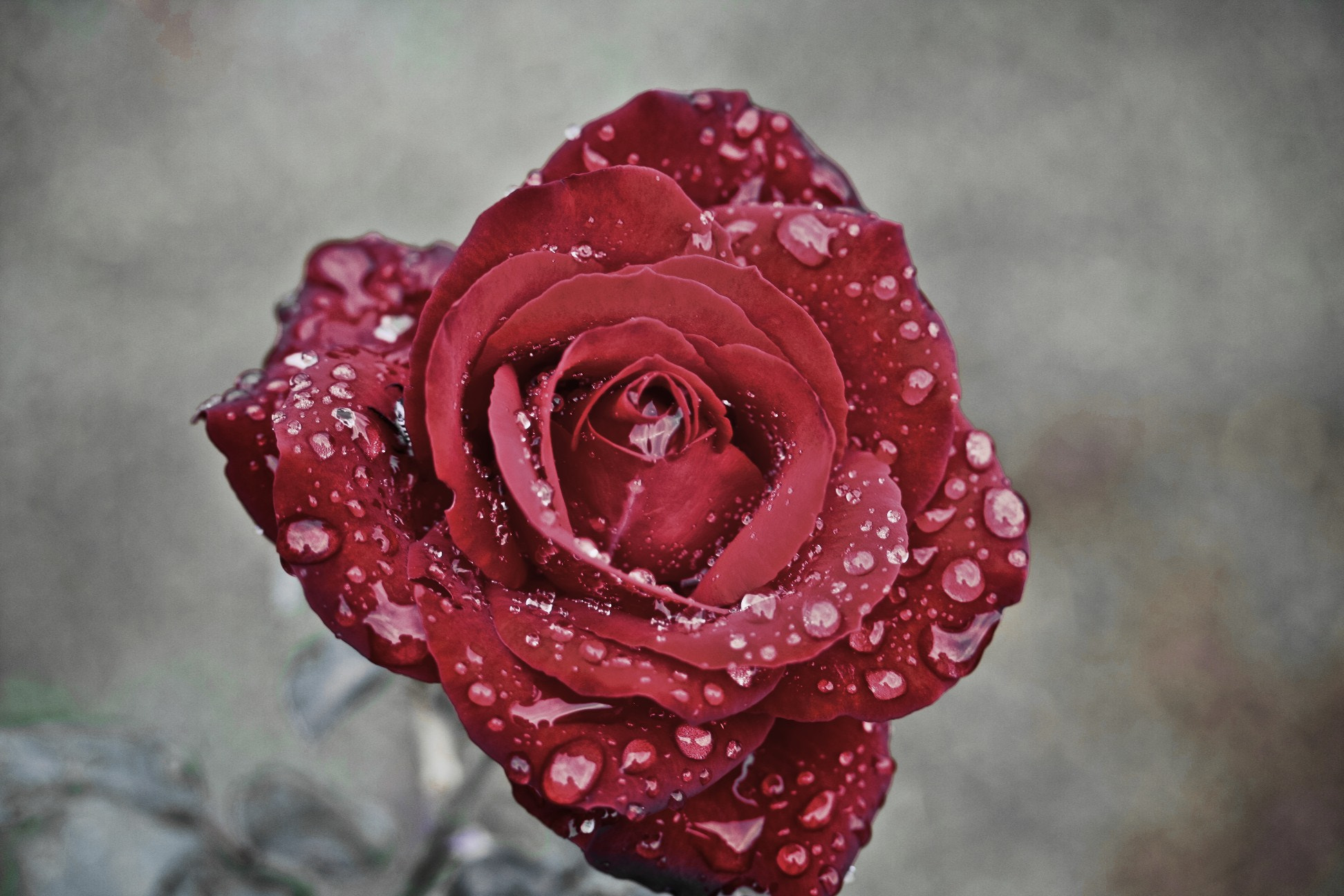 Photograph Rose by Kevin Rodrigues on 500px