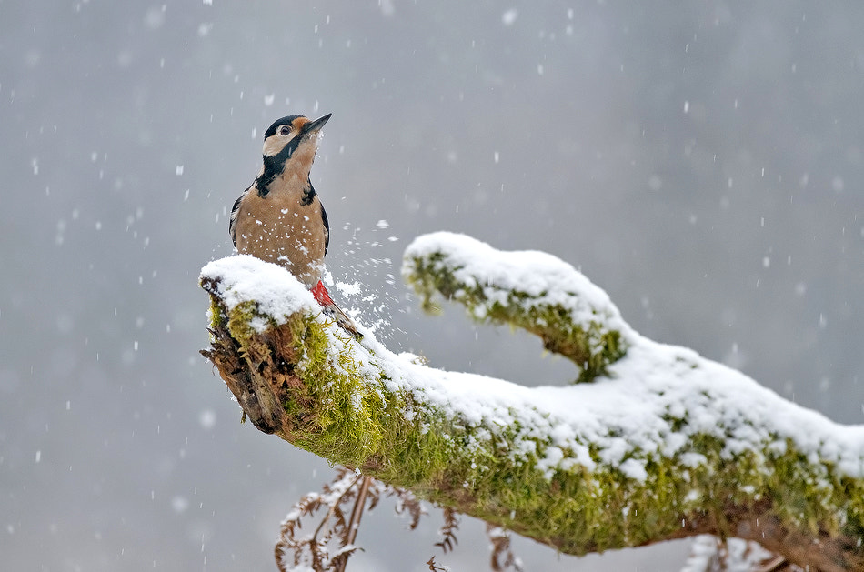 Photograph Great spotted woodpecker by Uros Poteko on 500px