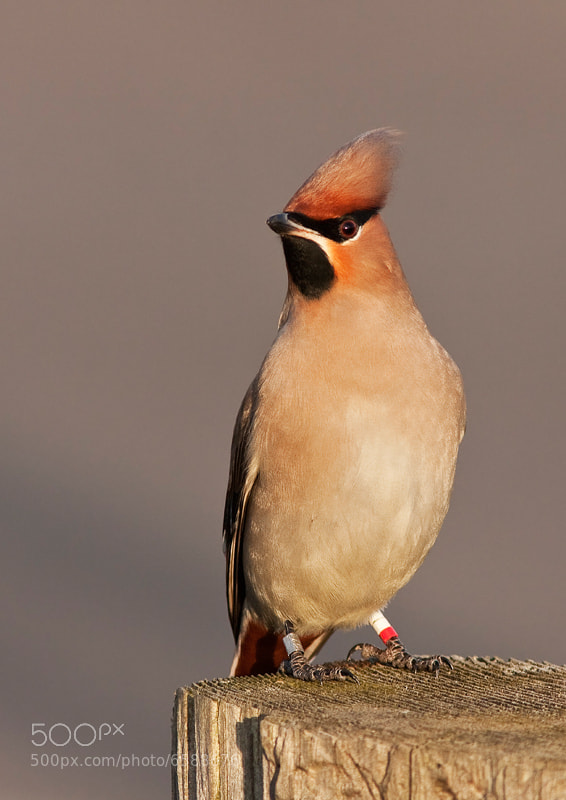 Photograph Waxwing Bling by Lea Roberts on 500px