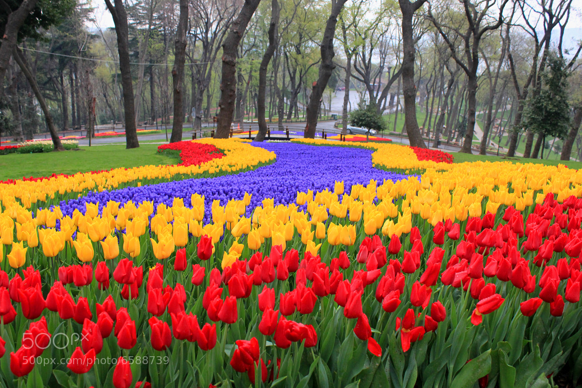 Photograph Tulips of Istanbul by zen free on 500px