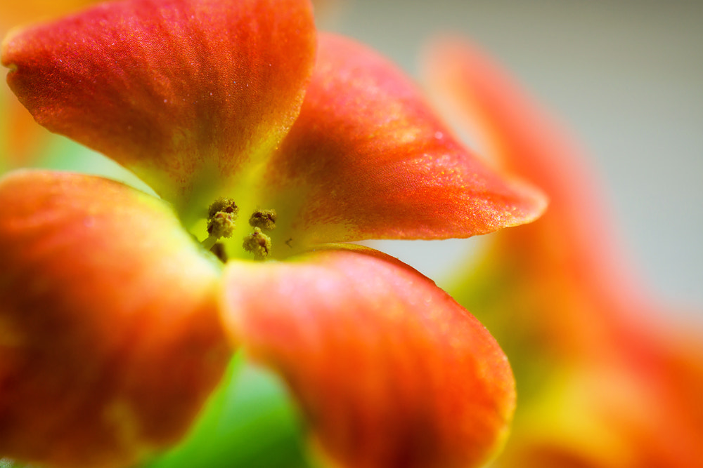 Photograph Little Flower by Markus Reugels on 500px