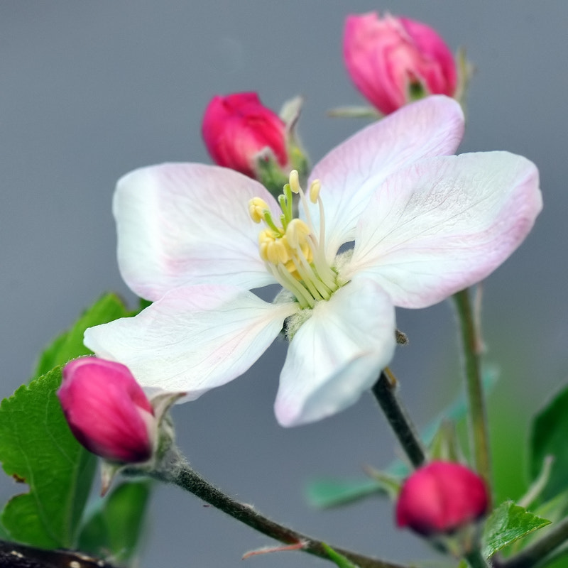 Photograph  buds and flower of apple by Franco Mottironi on 500px