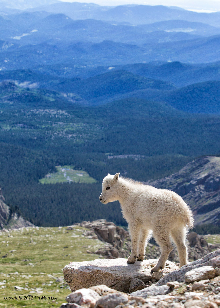 Photograph Mountain Goat Kid Overlook by Tin Man on 500px
