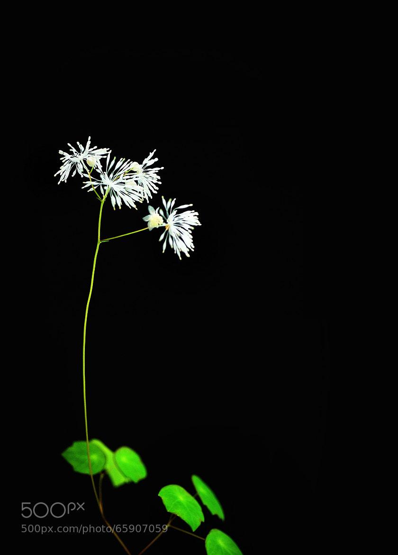 Photograph 연잎꿩의다리 by park seo jin on 500px