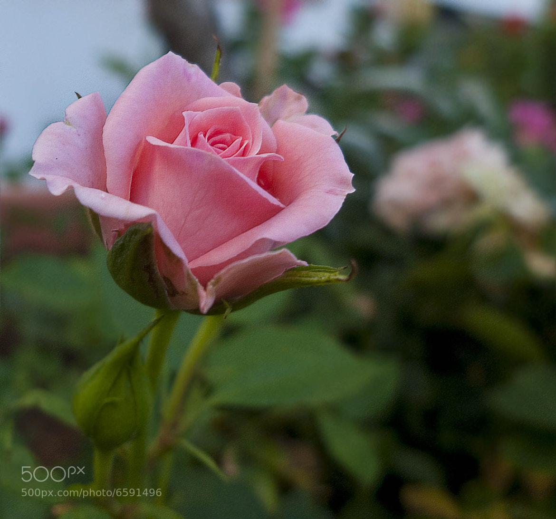 Photograph Rosa de Las Alpujarras (Granada) by Daniel Gil  on 500px