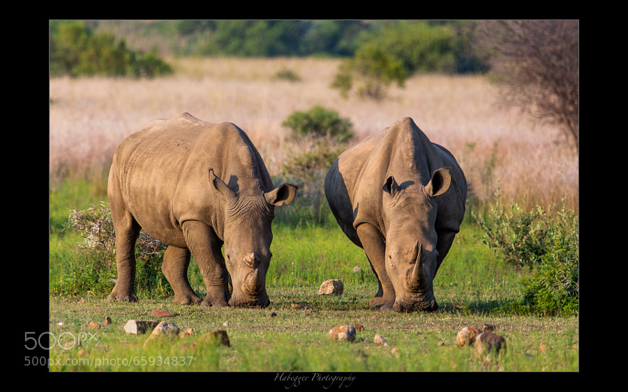 white rhinos, pilanesberg np