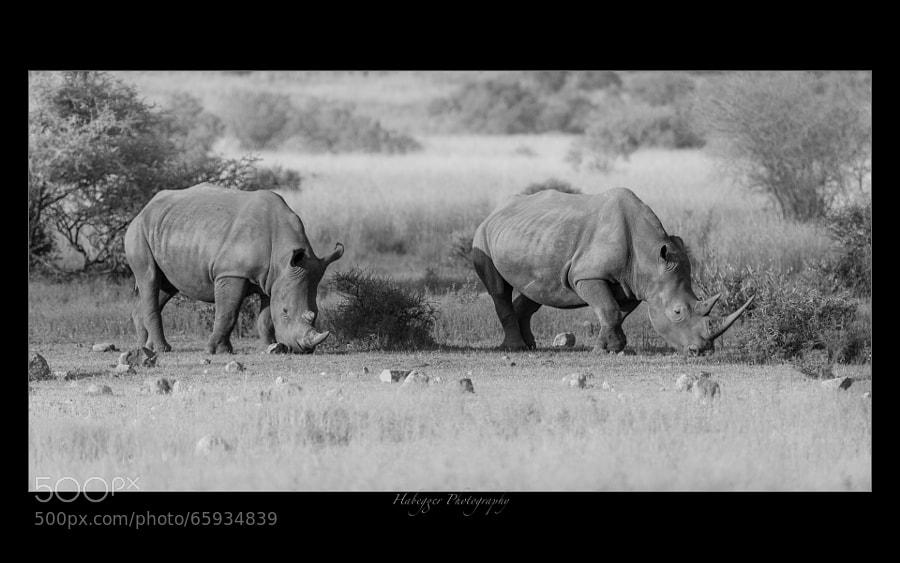 two white rhinos @ pilanesberg national park