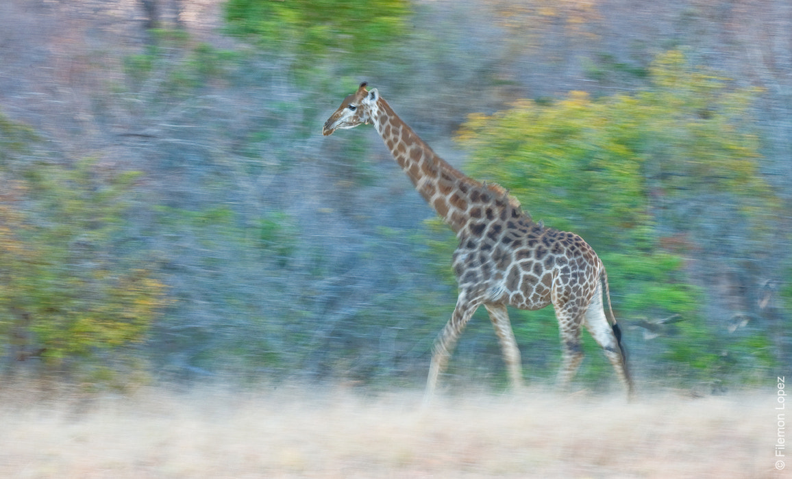 "Photograph ""Giraffe in Motion"" by Filemon Lopez on 500px"