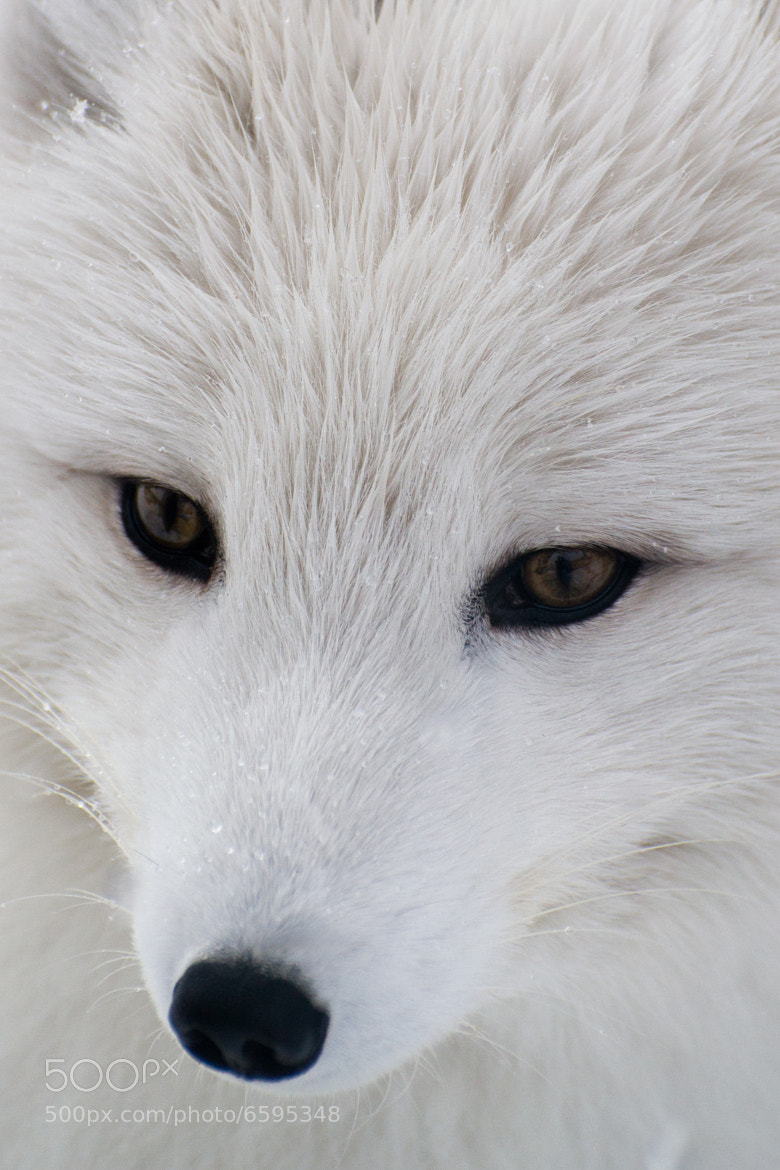 Photograph Arctic Fox by Pierre Trudel on 500px