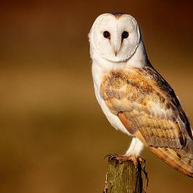 barn owl by Mark Bridger (bridgephotography) on 500px.com