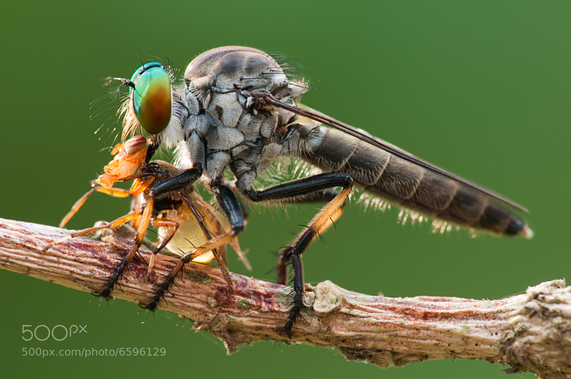 Photograph robberfly by Melvin Baroga on 500px