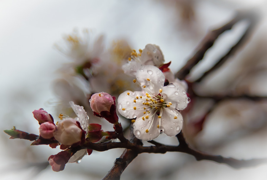 Photograph Seoul Cherry Blossom by David Edenfield on 500px