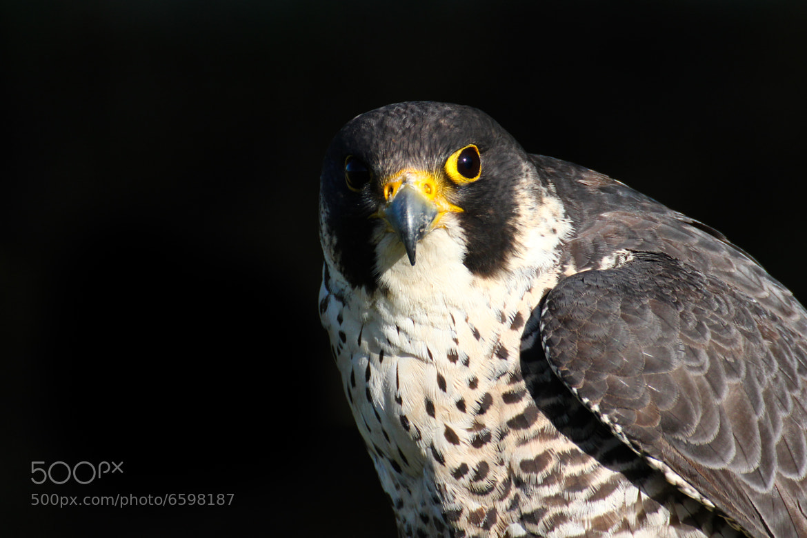 Photograph Falco peregrinus (falcon) by Sebastian Dreher on 500px