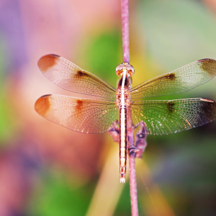 colorful oriental dragonfly