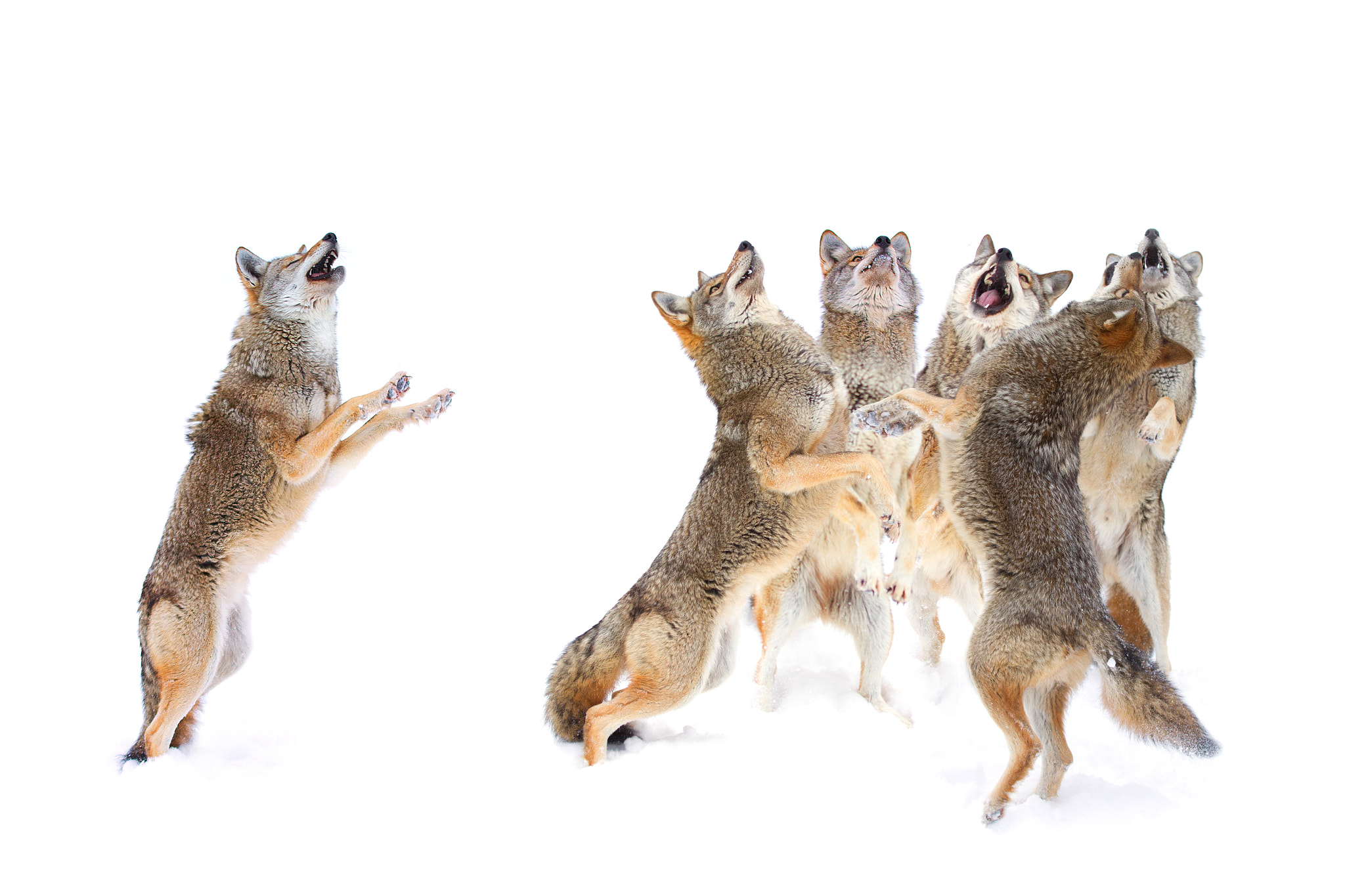 Photograph The Choir - Coyotes by Jim Cumming on 500px