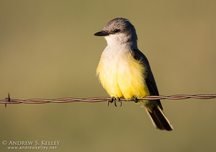 Photograph Western Kingbird by Andrew Kelley on 500px