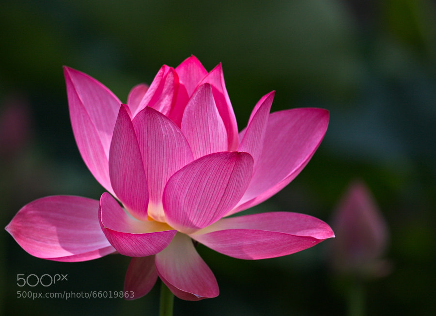 Photograph Lotus by ydchiu on 500px