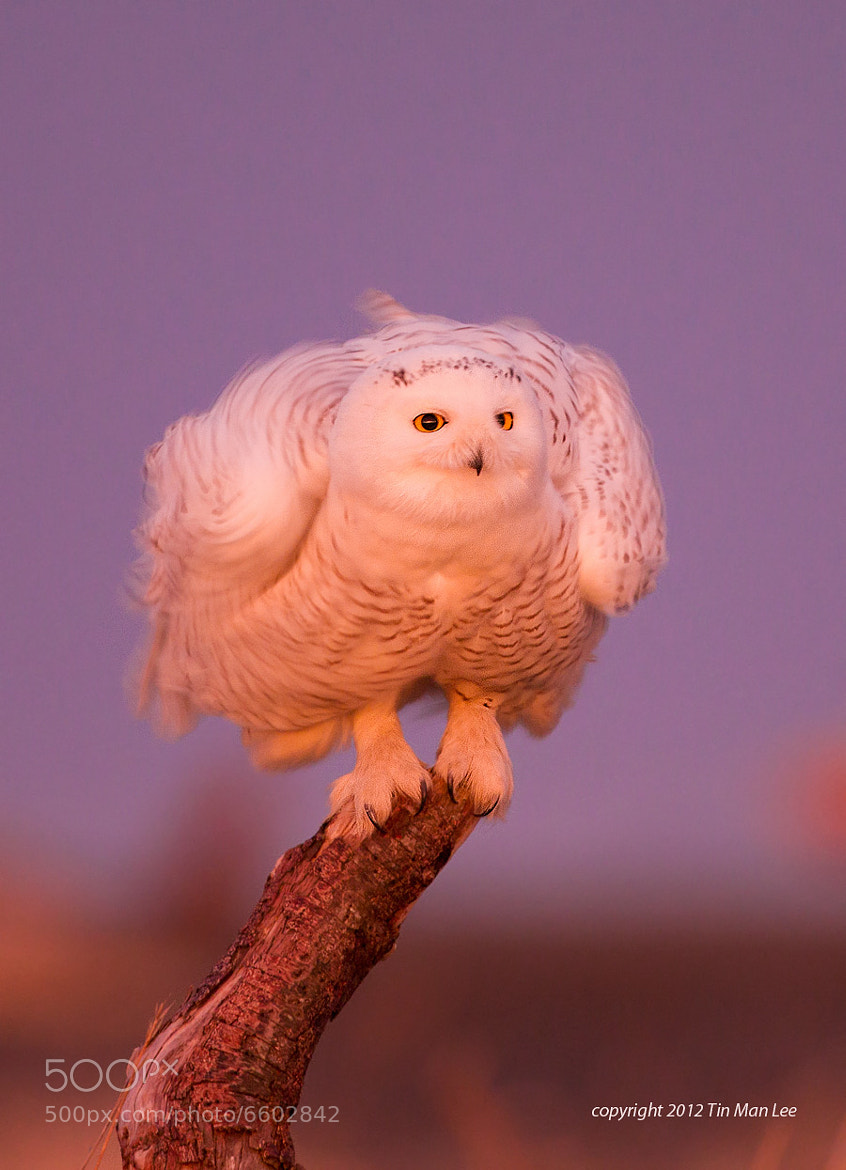 Photograph Shaking: Snowy Owl at Sunrise by Tin Man on 500px