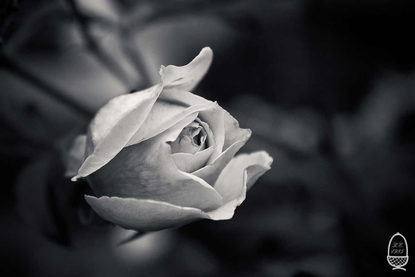 Photograph White rose by Katrin Eichleitner on 500px