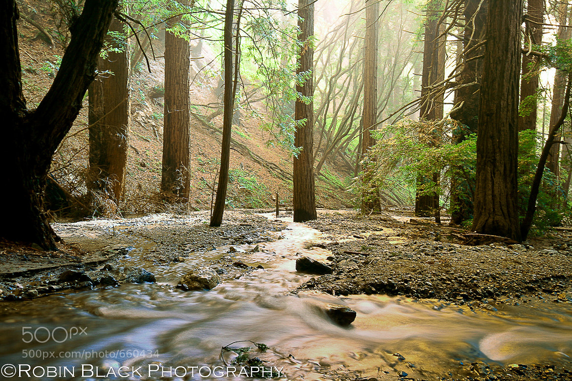 Photograph Golden Light on Redwoods, McWay Creek by Robin Black on 500px