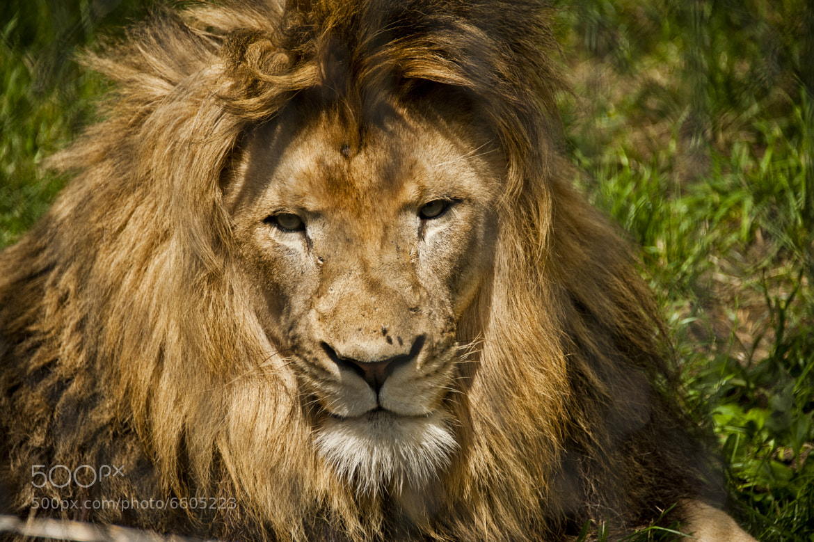 Photograph Indianapolis Zoo - Lion by Bradley Clampitt on 500px
