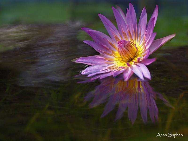 Photograph water lily by Anan Suphap on 500px