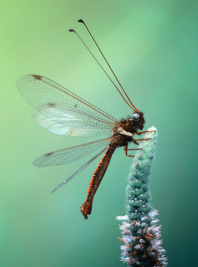 Photograph Owlfly in the blue period by Arief Perdana on 500px