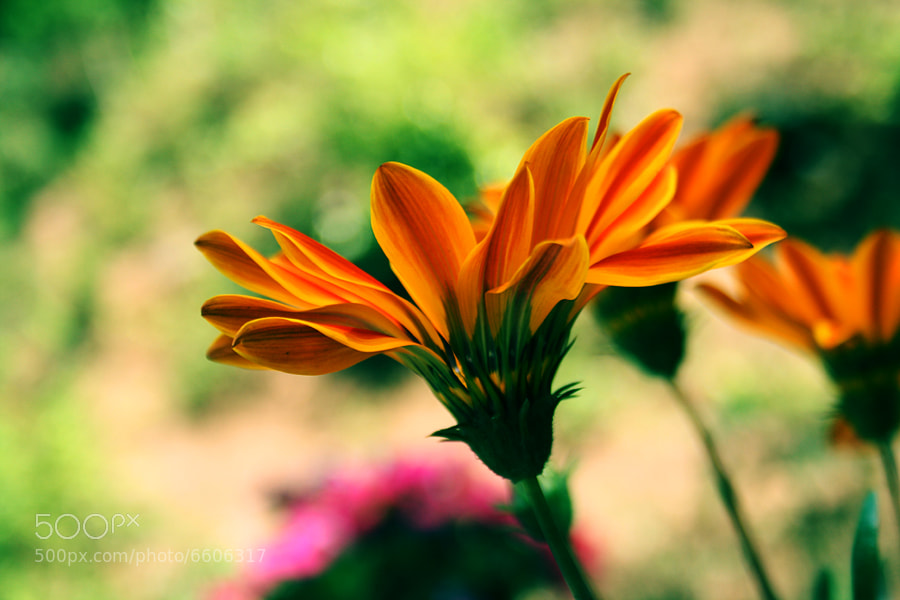 Golden Petals by Manish Shakya (MrShakya)) on 500px.com