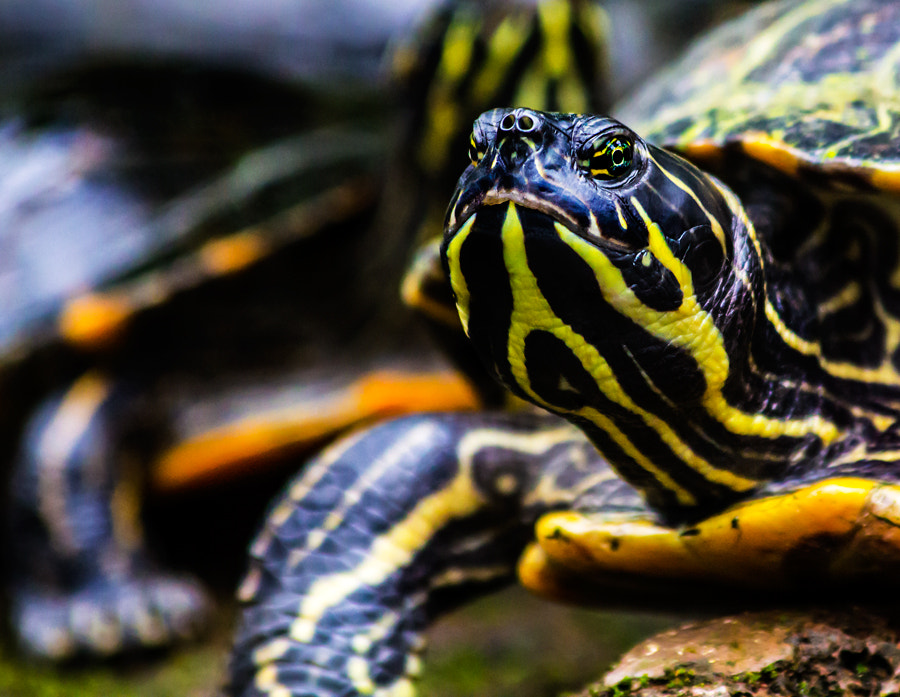 Photograph Turtle by Falk Friederichs on 500px