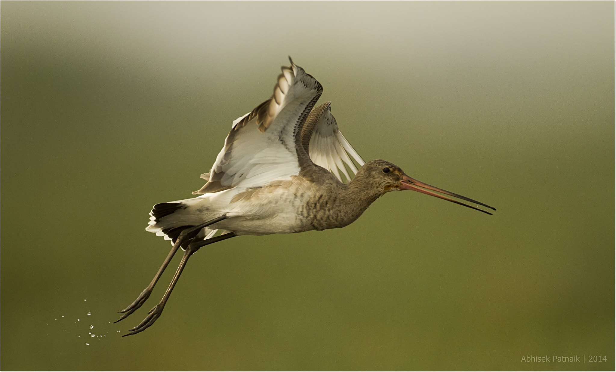 rare migratory bird  Black Tailed Godwit at Chilika Lake