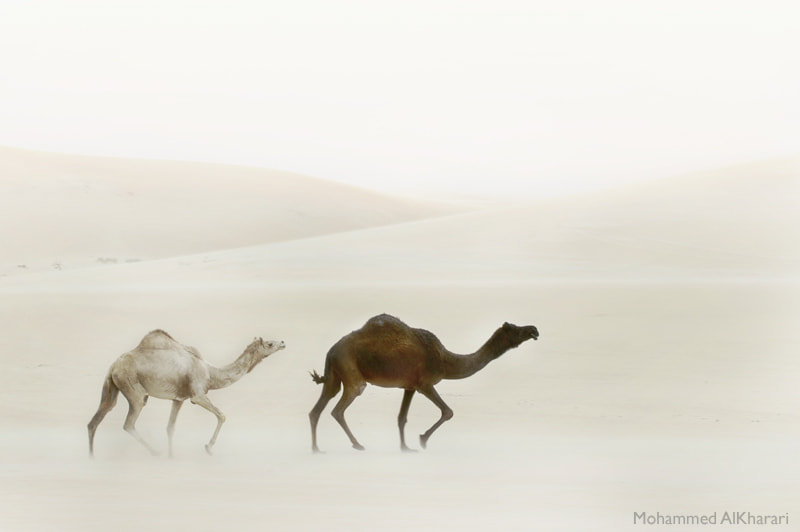 Photograph Our Camels by Mohammed AlKharari on 500px