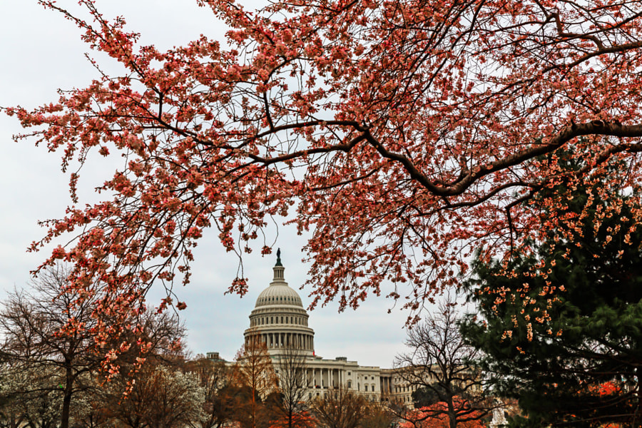 The Capitol Building at the start of the Cherry Blossom Season