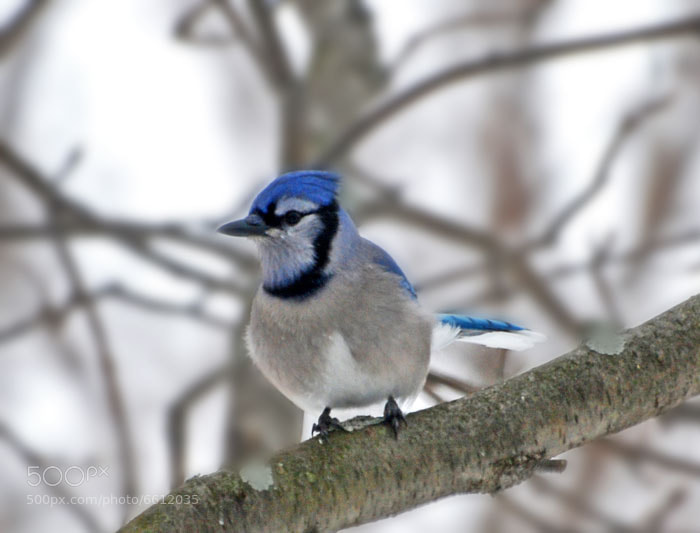 Photograph Blue Jay by Gail Douglas on 500px
