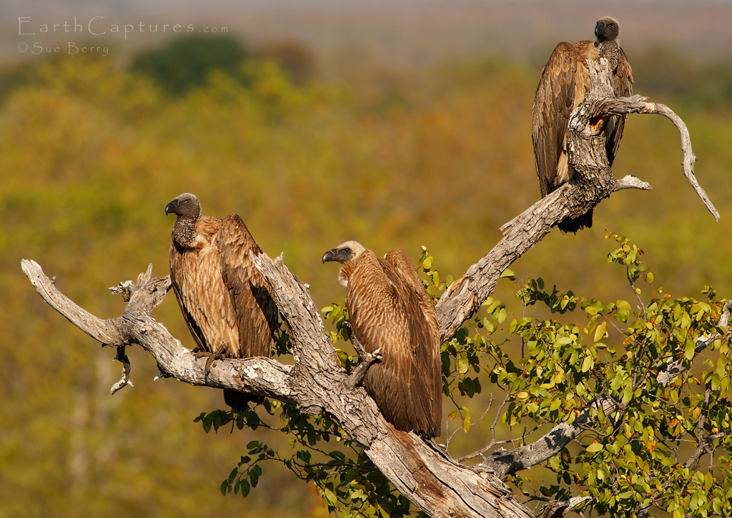 Photograph Vultures by Sue Berry on 500px