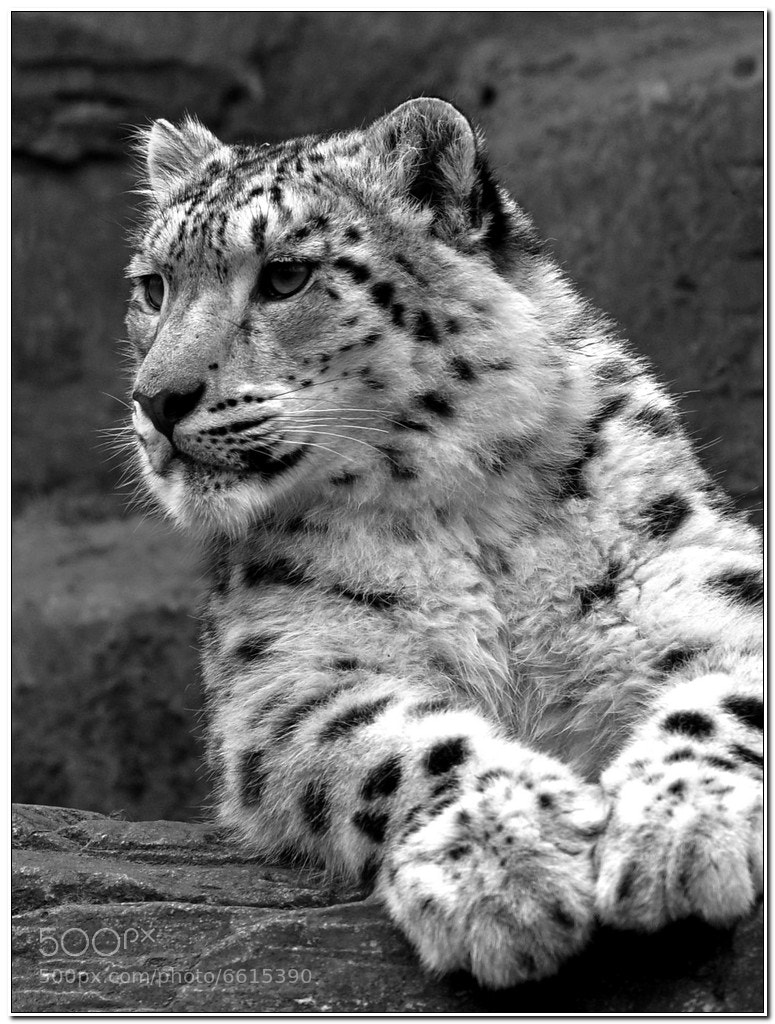 Photograph Snow Leopard B&W by Andy Kirke on 500px