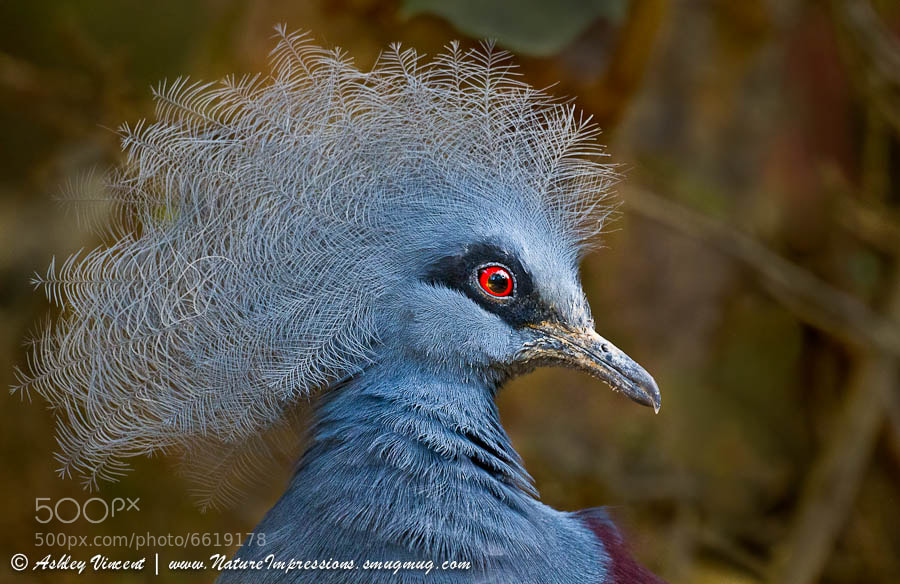 "One of the world's most exotic Pigeons, the Victoria-Crowned Pigeon is native to the lowland and swamp forests of northern <a href=""http://en.wikipedia.org/wiki/New_Guinea"">New Guinea</a>. Their given name pays tribute to the United Kingdom's Queen Victoria (1819-1822).