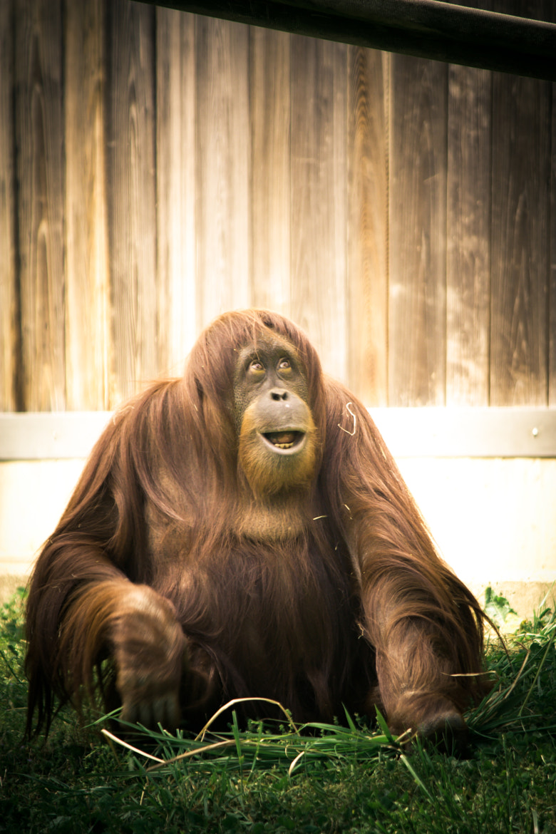 Photograph Orangutan by Gerry Shappell on 500px