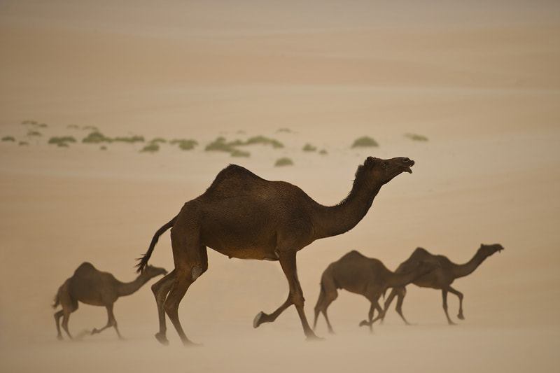 Photograph Camels by Ahmed Al-Ibrahim on 500px