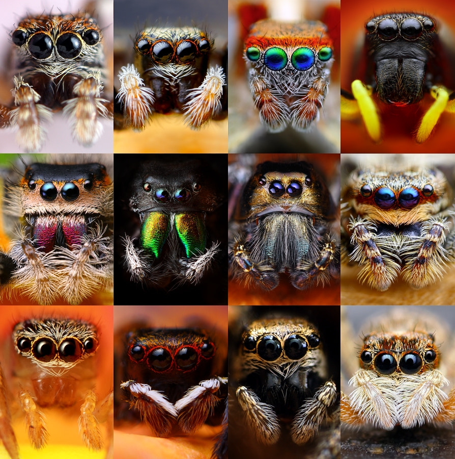 Photograph Jumping spiders by Tomas Rak on 500px