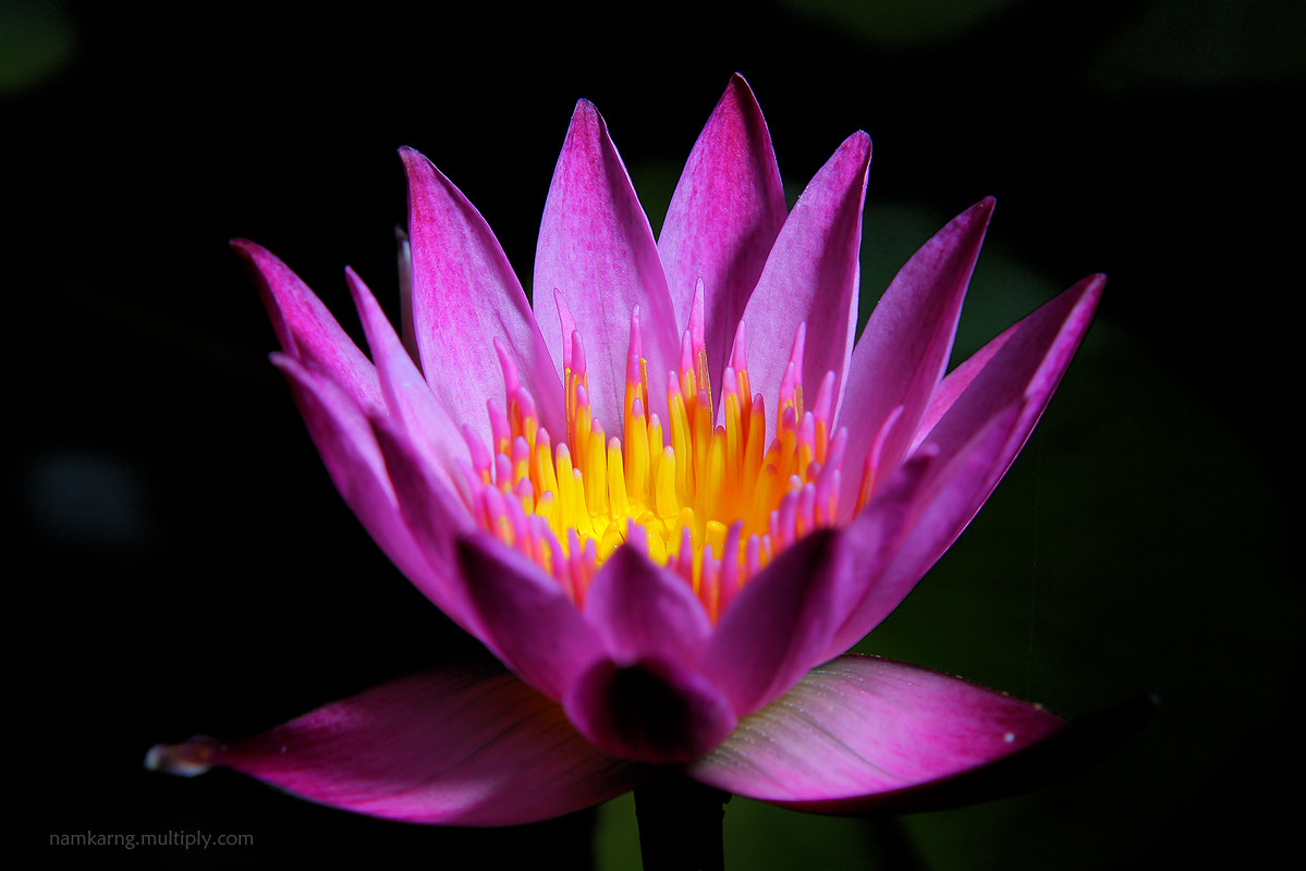 Photograph lotus by DEW SP on 500px