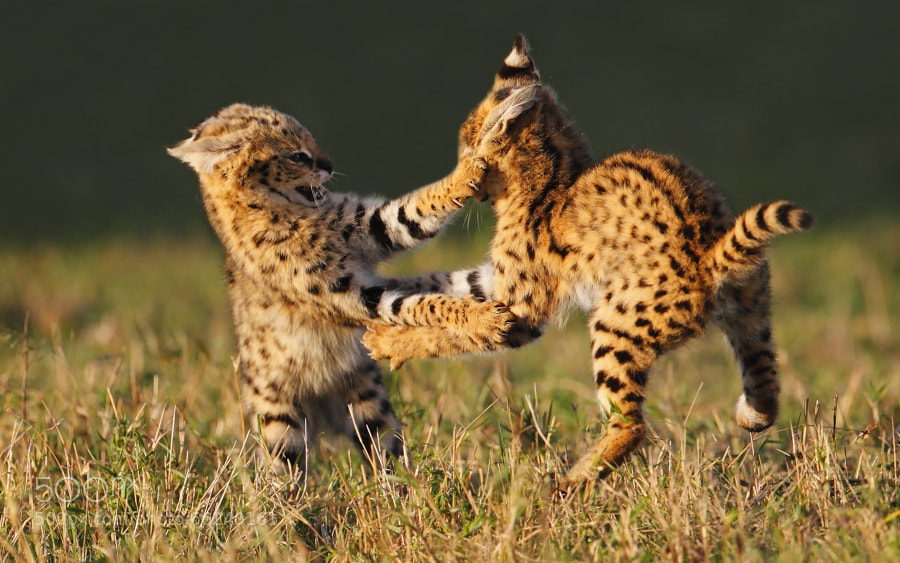 Photograph Serval cats by Stephan Tuengler on 500px