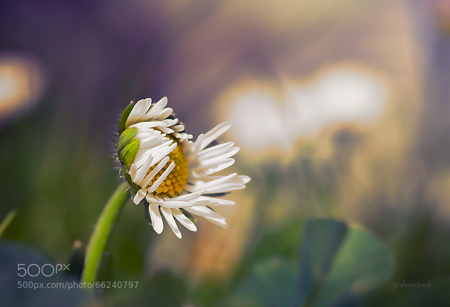 Photograph lazy daisy by Alper Doruk on 500px