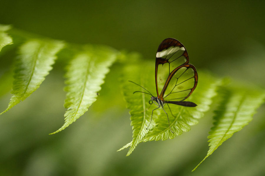 Photograph Clear Butterfly - Costa Rica by Benjamin Nocke on 500px