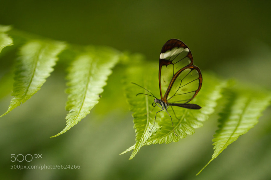 Clear Butterfly - Costa Rica by Benjamin Nocke (huntington)) on 500px.com