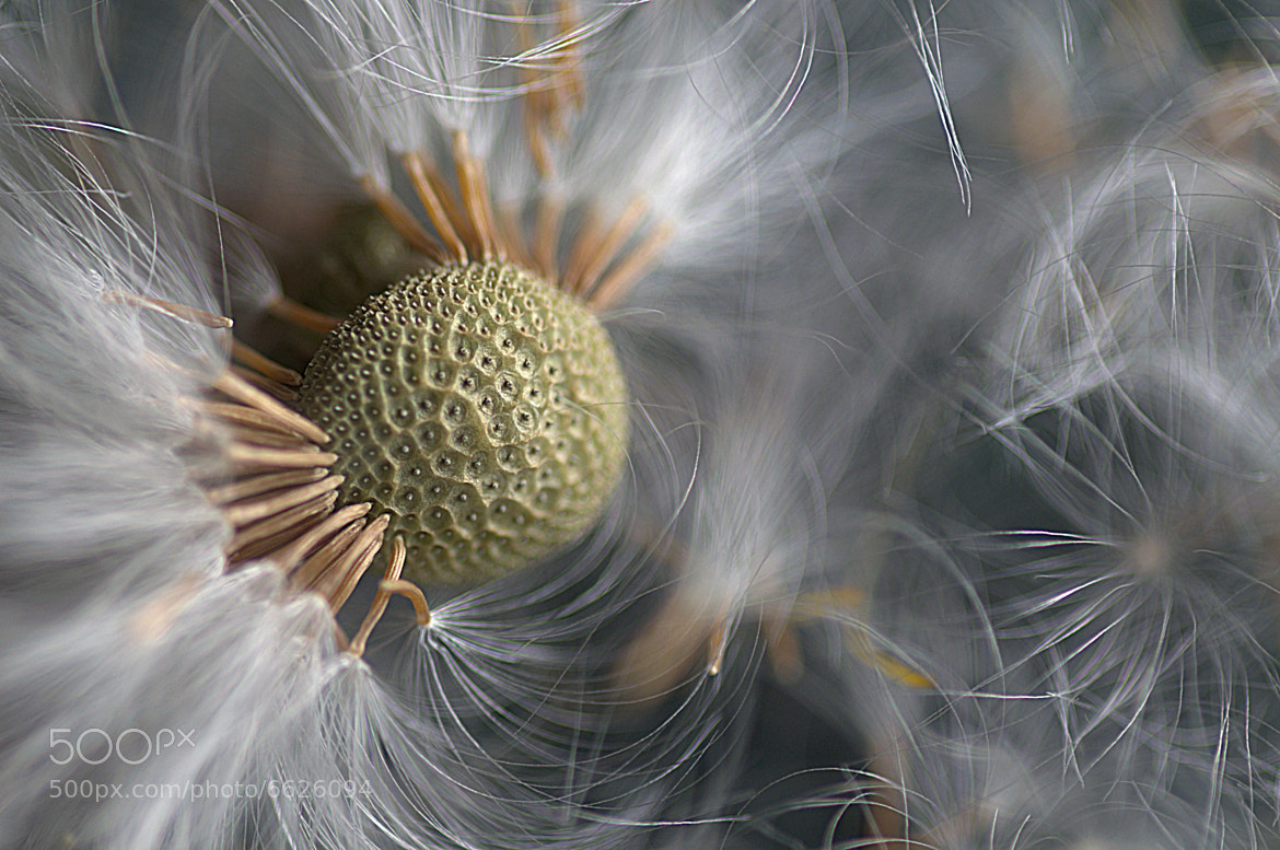 Photograph Dandelion. by hetty mellink on 500px