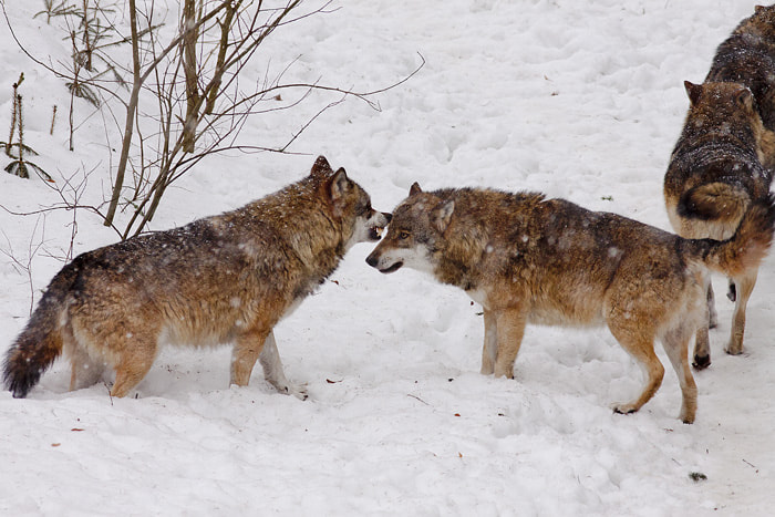Photograph Two wolves by Vittorio D'Apice on 500px